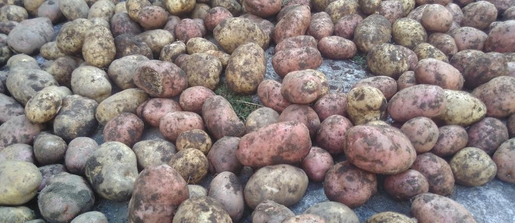 Qui le patate sono di casa...