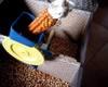 Fase di trasformazione del granoturco in polenta.
