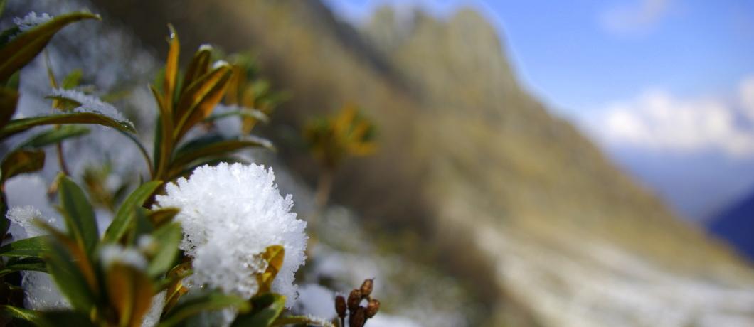 rododendri di ghiaccio