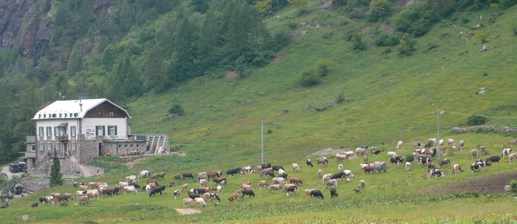 mucche vicino rifugio tavecchia