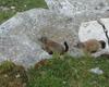una famiglia di marmotte ha dimora stabile a pochi metri dal rifugio