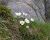 pulsatilla, anemone alpina