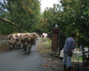 il rientro delle vacche a fine stagione