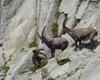 tre splendidi esemplari di stambecco: la fauna selvatica è una delle attrattive maggiori