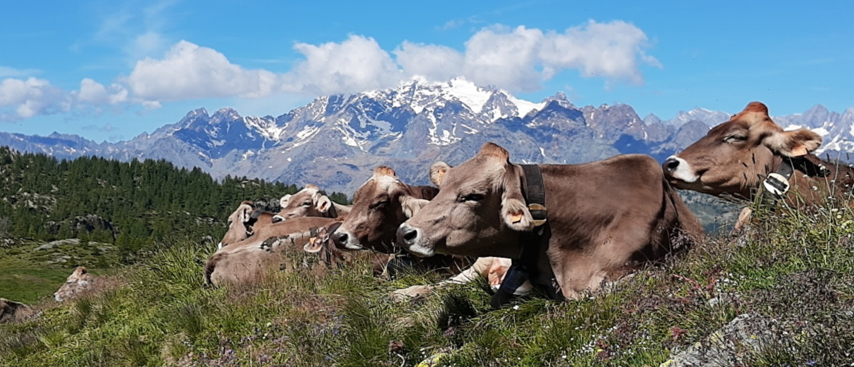 mucche al pascolo- rifugio ca runcasch