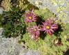 La flora alpina sfida il clima montano